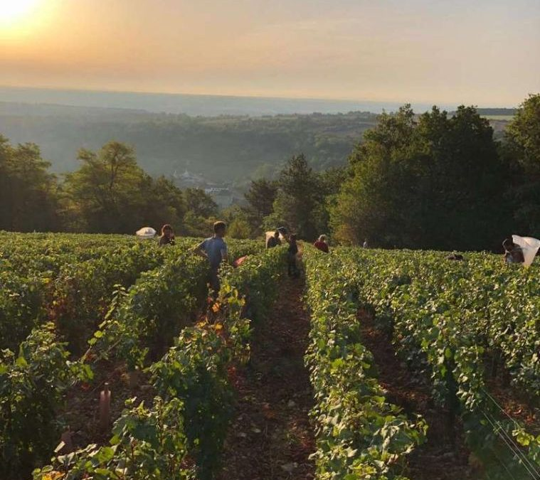 Vendanges have started – Sunday Morning at Saint-Aubin
